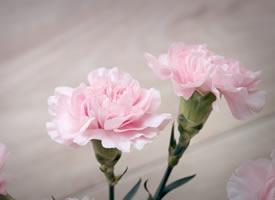 粉粉的清新淡雅康乃馨花卉图片