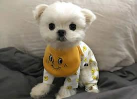 好可爱好帅气的马尔济斯犬图片
