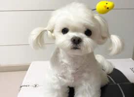 扎着两个小辫子的白色可爱小狗狗