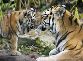 小老虎在妈妈的保护下真心爱