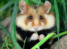 一组超萌超可爱的野生小仓鼠图片欣赏