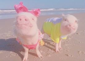 一组超可爱的粉色小猪猪图片欣赏