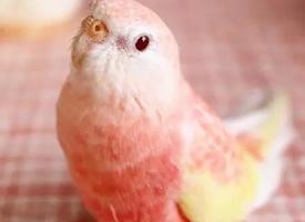 超像水蜜桃的秋草鹦鹉 图片