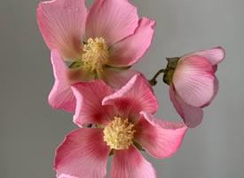 一组木芙蓉的高清唯美特写图片