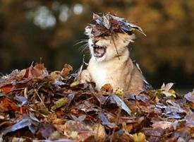 落叶下的小狮子 超级呆萌可爱