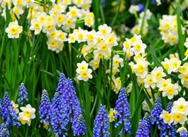一組風信子特寫唯美花卉圖片
