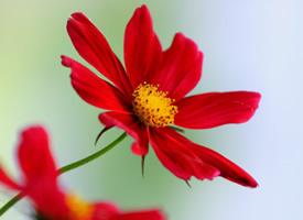一组开的红红火火的花朵图片特写