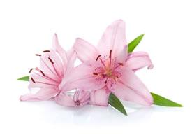 一組特別唯美的盛開的百合花特寫圖