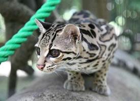 一组超可爱带点小酷酷的豹猫图片欣赏
