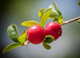一组清甜可口的红樱桃图片欣赏