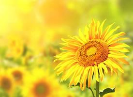 清新唯美向日葵风景图片欣赏