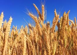 成熟的麦穗图片_18张
