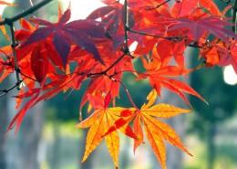 红红的枫叶图片_15张
