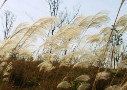 蘆葦塘風景圖片_13張