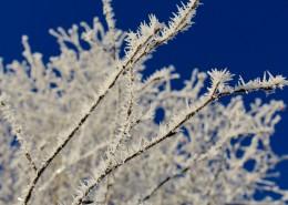 上了霜的樹葉圖片_12張