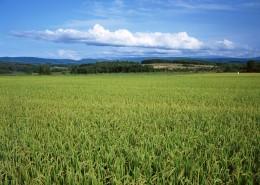 水稻圖片_11張