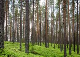 阳光透过整齐树林的图片_12张
