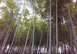 郁郁蔥蔥的竹林圖片_10張