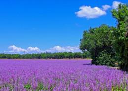 紫色薰衣草风景图片_11张