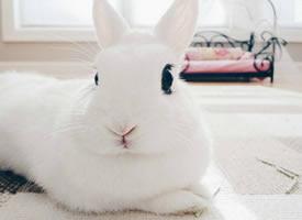 長長的睫毛雪白雪白超好看的小兔子