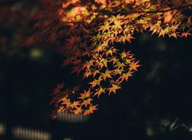 枫叶的形状像一把小巧玲珑的扇子,又像凤尾鱼的大尾巴