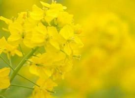 一组金灿灿唯美的油菜花图片欣赏