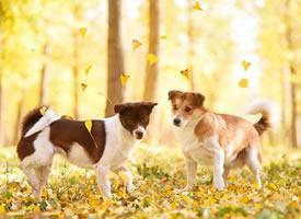 秋天以银杏叶背景下的可爱狗狗的图