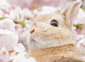 一組超好看的櫻花旁的小兔子圖片