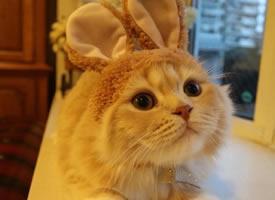 一只顽皮可爱带上兔耳朵的小猫猫图