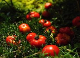 一组草地上的红红的番茄图片欣赏