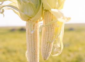 一组清新的玉米高清图片欣赏