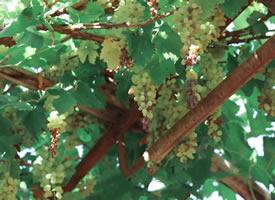 一组吐鲁番的葡萄还挂在树上的图片欣赏