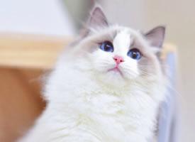 一组眼睛蓝蓝的小白猫图片欣赏