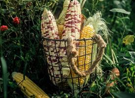 个个金黄色的玉米摆在了我们的眼前,而且颗粒饱满,