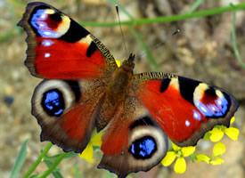 一組唯美高清孔雀蝴蝶圖片欣賞
