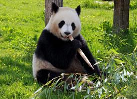 可爱的国宝大熊猫图片欣赏