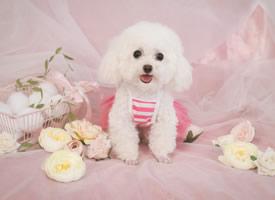 一只超萌的穿的粉粉的白色泰迪图片