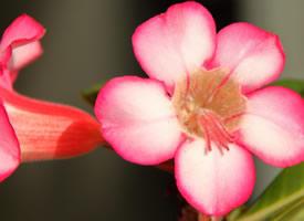 一组粉红粉红的夹竹桃图片