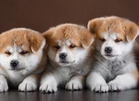 一组超可爱的秋田犬图片欣赏