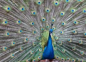 寓意美好事物的孔雀开屏图片