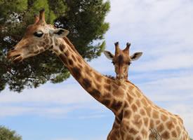 一组草地上非洲长颈鹿高清图片欣赏