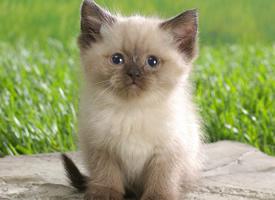 一组短毛猫品种暹罗猫图片欣赏