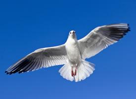 一组天空中飞翔的海鸥图片欣赏