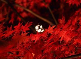 夜晚在灯光衬托下的红叶景象