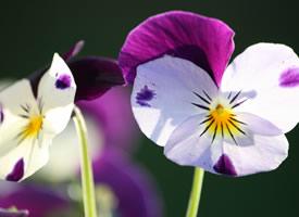 三色堇的三片花瓣,一片是真,一片是善,一片是美,花心是爱