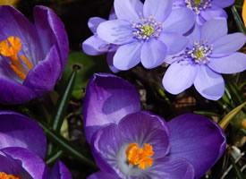 满城风雨满城尘,盖紫藏红漫惜春 藏红花图片欣赏