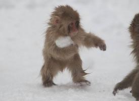小猴子喜歡打雪仗的圖片欣賞