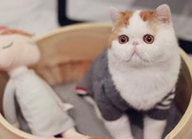 一只胖胖的有着长胡子的小猫猫图片