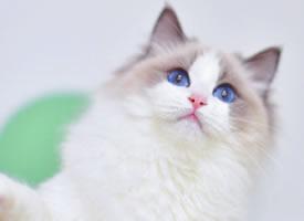 一组蓝双色眼睛的漂亮白色小猫图片