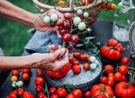 一组奶奶刚摘下来的红红的番茄